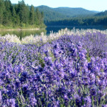 field of lavender oil in natural setting with lake and evergreen trees flowers are distilled for pure essential oil.