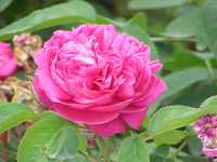Rosa_damascena_wiki-creative-commons-stueber-1