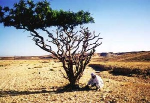 Frankincense tree in its natural arid climate from which pure esential oil is distilled.