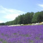 photo of a lavender field in flower