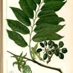 botanical illustration of ylang ylang