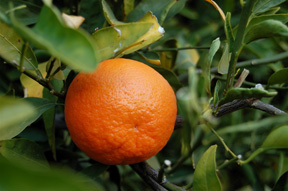 TangerineFruit_wiki-creative-commons-lic-barfooz(Brent Ramerth)-2