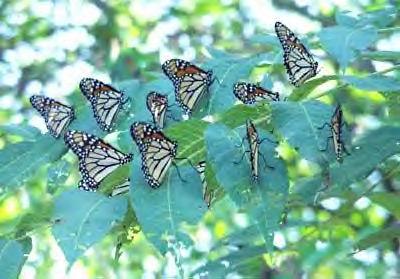 Monarch_butterflies-wiki-public-domain