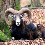 astrology-aries-ram-public-domain-pixabay-mouflon-1605588_1920