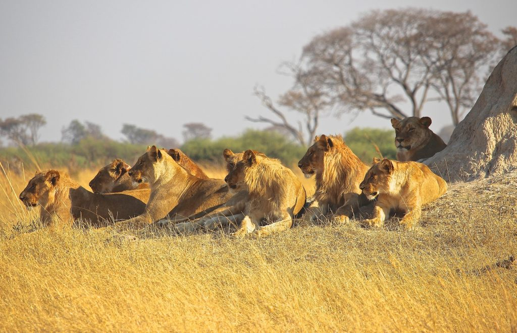 lions-pixabay-public-domain