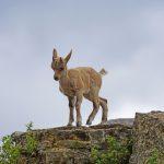 goat-baby-capricorn-pixababy-public-domain