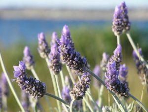 lavender-pixabay-public-domain