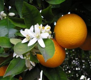 Orange-citrus-sinesis-wiki-creative-commons-GNU-free-ellen.levy.finch_large
