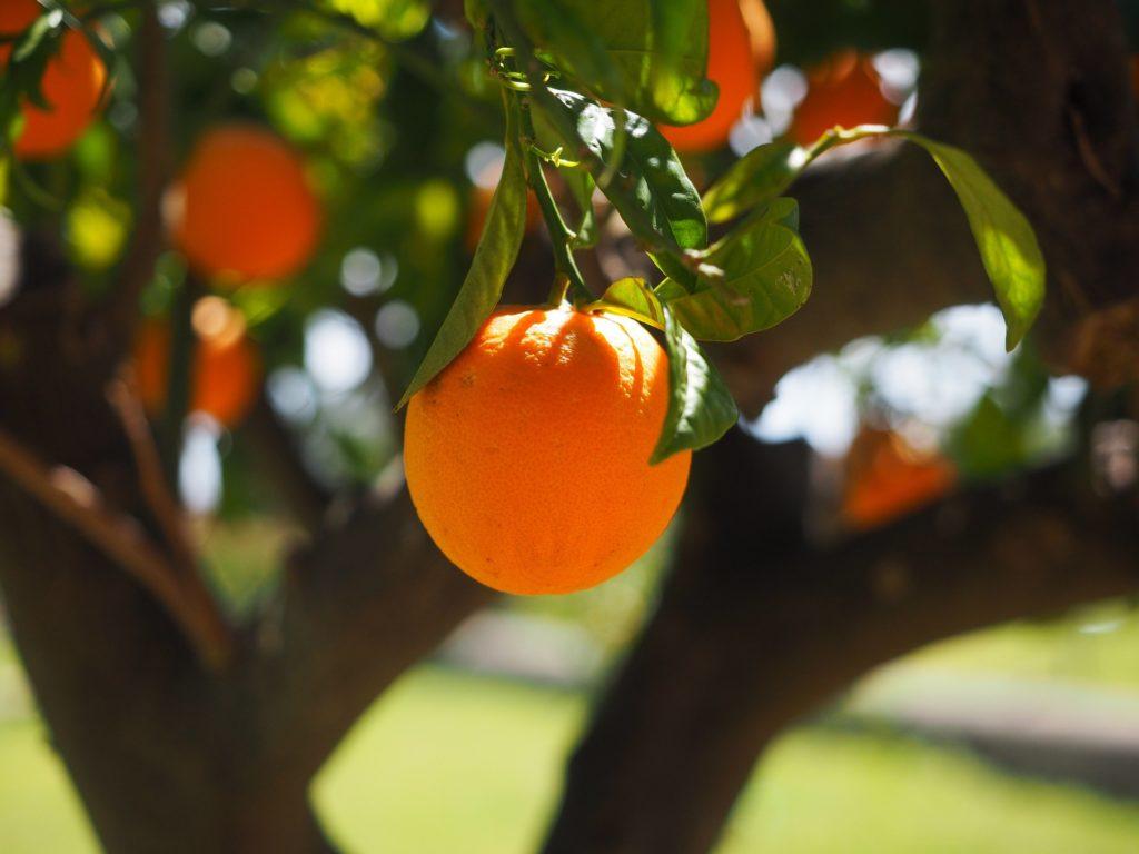 orange-tree-pixabay-public-domain