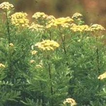 tansyblue Blue Tansy Pure Organic Essential Oil   Natural Allergy Remedy
