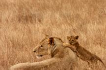 lions-3312845582786Em8-public-domain-pictures-2