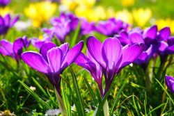 spring-flowers-crocus-pixabay-public-domain