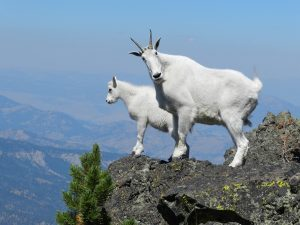 astrology-capricorn-mountain-goats-pixabay-public-domain