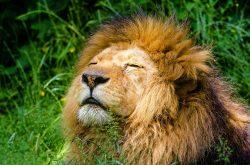 astrology-leo-african-lion-pixabay-public-domain